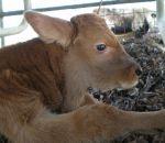 foto animali della fattoria,fattorie didattiche:vitello-i vitelli devono bere tanto latte per diventare grandi,il latte di mamma mucca contiene tante proteine e vitamine,bisogna bere latte fresco appena munto,latte,gelato in fattoria
