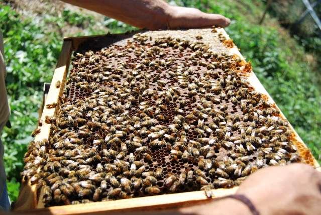 IMMAGINE di API immagini di insetti in fattoria d