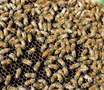 foto di api,immagine di alveare di api,l'ape è un insetto molto utile,l'ape impollina i fiori,l'ape produce miele,pappa reale,propoli,cera,nell'alveare vivono molte api operaie e l'ape regina,fattorie didattiche,didattica in fattoria