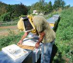 foto di api nell'alveare,immagine di api alveare ape regina,l'apicoltore raccoglie il miele prodotto dalle api,pappa reale propoli polline,le api impollinano i fiori,didattica in fattoria,scuole nelle fattorie didattiche