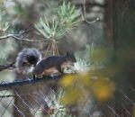 foto di scoiattolo,immagine di scoiattolo nel bosco,gli scoiattoli vivono nei boschi cibandosi di semi nocciole, noci,pinoli,scoiattoli vanno in letargo,fattorie didattiche per bambini,scuole in fattoria