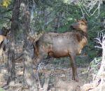foto di cervo,immagine di cervo nel bosco,i cervi perdono le corna tutti gli anni,il verso del cervo si chiama bramito,mamma cerva allatta il cerbiatto,didattica in fattoria aperta didattica,scuola in fattoria