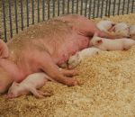 foto di scrofa con maialini,immagine di scrofa allatta i maialini,scrofa mamma dei maialini verro papà dei maialini,fattorie didattiche scuole in fattoria aperta didattica