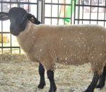foto di pecora,immagine di pecora,la pecora produce la lana,il latte di pecora è ottimo per pecorini,il maschio della pecora è l'ariete,fattorie didattiche aperte alle scuole in fattoria didattica