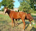 foto di cavallo araboimmagina di cavallo araboil