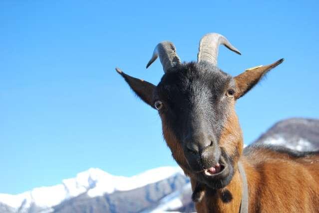 Capra in fattoria becco e capra in fattoria capretto in - Immagini da colorare capra ...
