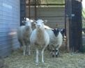 foto animali nella fattoria,immagini di animali che vivono nella fattoria,fattorie didattiche,agrogelateria gelato in fattoria