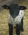 agnelloil piccolo della pecora si chiama agnello