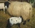 agnello che beve il latte da mamma pecora,immagini di animali della fattoria,didattica in fattoria,caseificio in fattoria
