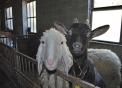 pecora con capra di razza verzasca,immagini di animali nella fattoria,agriturismi in provincia di varese,fattorie didattiche,distributore latte fresco