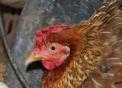 mamma gallina viene chiamata chioccia,il gallo è il maschio il pulcino è il piccolino,prodotti tipici della provincia di varese,fattoria didattica