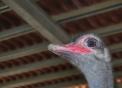 struzzo,foto animali della fattoria struzzo,il maschio dello struzzo ha il becco più rosso e il piumaggio tendente al nero,fattorie didattiche in agriturismi in provincia di varese