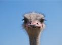 foto di struzzo,il collo degli struzzi è molto lungo,scuole in fattoria didattica,agrigelateria gelato in fattoria