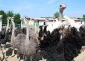 gruppo di struzzi,il maschio di struzzo ha il piumaggio nero,la femmina di struzzo ha il piumaggio marrone,fattorie didattiche in agriturismi in provincia di varese