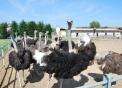 immagine di struzzo in fattoria,prodotti tipici varesini in fattoria didattica