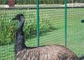 emù,immagine di emù in fattoria didattica,gli emù fanno grandi uova verde scuro,prodotti tipici varesini
