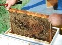 prodotti tipici varesini miele varesino,miele varesino l'oro delle prealpi,alveare di api,api insetti utili all'agricoltura..foto di api nell'arnia