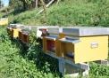 prodotti tipici varesini il miele,il miele veresino l'oro delle prealpi..immagine di alveare con api..foto di ape regina..foto di fuco..immagine di ape operaia
