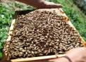 miele varesino prodotto tipico,le api sono insetti molto utili all'agricoltura perchè impollinano i fiori,foto di api..ape con ape regina..immagine alveare..foto di ape con miele