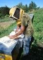 immagine di apicoltore che toglie il miele dall'arnia,il miele varesino prodotto tipico delle prealpi