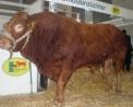 bovino razza da carne,toro per produzione di carne,le razze da carne non vengono munte per il latte