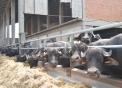 manze di bufala in vendita in Piemonte..bufali maschi alta genealogia in vendita azienda agricola facchi..tori di bufalo di alta qualità miglioratori di razza..