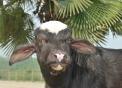 yogurt con latte di bufala..yogurt di bufala al naturale..formaggio di bufala in Piemonte..prodotti italialleva di bufala..fattoria didattica in Piemonte..