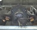 carne di bufala..salumi con carne di bufalo..bresaola di bufala..mozzarella di bufala piemontese..caciocavallo  con latte di bufala..