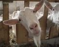 foto di capra,immagine di capra da latte..foto di capra camosciata delle alpi..foto di capra di razza saanen..foto di capra di razza nera di verzasca