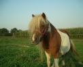 foto di cavallo pony,immagine di un cavallo più precisamente di un pony in una fattoria didattica,i cavalli sono erbivori il maschio del cavallo si chiama stallone la femmina del cavallo si chiama giumenta,il piccolo del cavallo si chiama puledro