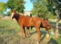 foto di cavallo arabo,cavallo da tiro italiano,immagine di un cavallo  in una fattoria didattica,i cavalli sono erbivori il maschio del cavallo si chiama stallone la femmina del cavallo si chiama giumenta,il piccolo del cavallo si chiama puledro