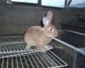 foto di coniglio,immagine di coniglio in fattoria,foto di lepre,il coniglio ha lunghe orecchie e vive spesso nelle fattorie didattiche con il suo folto pelo,la lepre vive nelle campagne attorno alla fattoria didattica