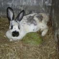 foto di coniglioimmagine di coniglio in fattoria