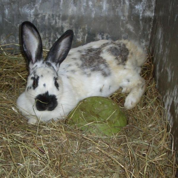 Foto di coniglio immagine di coniglio in fattoria foto di for Fattoria immagini da colorare