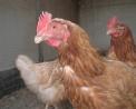 foto di gallinaimmagine di gallina ruspante ovaio