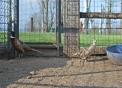 foto di fagiano,immagine di fagiano in una fattoria didattica,il maschio del fagiano ha il piumaggio molto colorato,la femmina del fagiano è di colore scuro per mimetizzarsi e non essere trovata dai predatori
