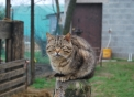 foto di gatto,immagine di gatto appollaiato in una fattoria didattica,i gattini o micetti li troviamo spesso in fattoria a caccia di topolini mentre mamma gatta fà le fusa per farsi accarezzare