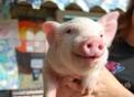 foto di maiale,immagine di un maialino in fattoria didattica,nelle fattorie ci sono sia le scrofe femmine dei maiali che i verri maschi dei maiali,i porcellini della fattoria didattica