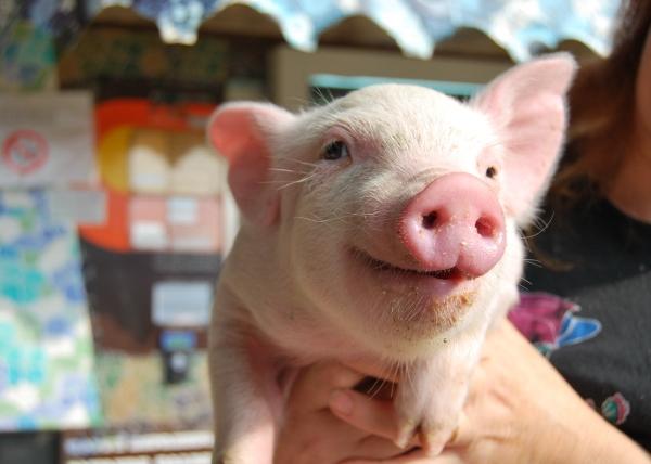 Maiali in fattoria didattica agriturismo con maiali maialini for Maialino disegno per bambini