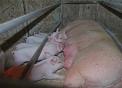 immagine di scrofa dentro una gabbia che allatta i suoi maialini o lattonzoli,i maiali della fattoria vivono nella porcilaia,il verro è il maschio del maiale