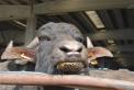 gelato di bufala..agrigelateria nella fattoria delle bufale..mozzarella di solo latte di bufala..ricotta con latte di bufala..scamorza con latte di bufala..