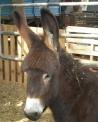 foto di mulo e di bardotto,immagine di mulo e di bardotto,il mulo che troviamo in fattoria didattica è l'incrocio tra mamma cavalla e papà asino,il bardotto è l'incrocio tra mamma asina e papà cavallo in fattoria