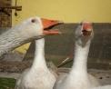 foto di oca in fattoria,immagine d'oca in fattoria didattica,immagine di oche del campidoglio..foto di oche selvatiche..le oche producono il foie gras o fegato grasso d'oca..papere nel pollaio