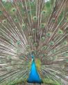 foto di pavone con grande ruota nella coda in fattoria,immagine di pavone nel pollaio della fattoria...foto di pulcini di pavone...sulla coda il pavone ha gli ocelli..