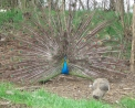 foto di pavone con grande coda in fattoria davanti ad una femmina pavone,immagine di pavone,in fattoria didattica possiamo anche incontrare il pavone maschio che fà con la coda la ruota,il pavone maschio si fà bello davanti al pavone femmina