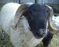 foto di ariete o montone che è il maschio della pecora,immagine di ariete maschio della pecora ,in fattoria didattica si vedono le pecore con gli agnelli e i maschi della pecora chiamati arieti o montoni