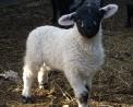 foto di agnello che è il piccolo della pecora in