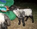 foto di piccolo agnello che beve il latte ,immagine di agnellino in fattoria,l'agnello sta vicino a mamma pecora per bere il latte ,dal latte di pecora si produce dell'ottimo formaggio detto pecorino.