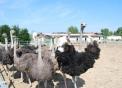 foto di struzzo,immagine di struzzi in una fattoria con animali,immagine di uova di struzzo in agriturismo..fattoria didattica con struzzi..foto di struzzo che corre..uova di struzzo
