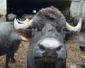 foto di bufala di razza mediterranea,immagine di bufali in una fattoria,dal latte delle bufale si ottiene dell'ottima mozzarella,ricotta e caciotta,a oleggio la fattoria delle bufale di facchi paolo e luciano,fattoria didattica con le bufale